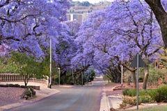 Árvores do Jacaranda fotografia de stock