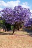Árvores do Jacaranda Fotografia de Stock Royalty Free