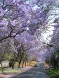 Árvores do Jacaranda ao longo da estrada em Pretoria, África do Sul imagens de stock royalty free
