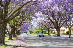 Árvores do Jacaranda ao longo da estrada em Pretoria, África do Sul foto de stock