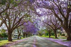 Árvores do Jacaranda ao longo da estrada em Pretoria, África do Sul fotos de stock royalty free