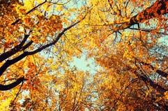 Árvores do outono - as árvores alaranjadas do outono cobrem contra o céu Opinião natural do outono de árvores do outono Imagens de Stock Royalty Free