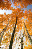 Árvores do outono com folhas amarelando Imagem de Stock