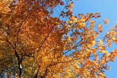 Árvores do outono com folhas douradas imagens de stock