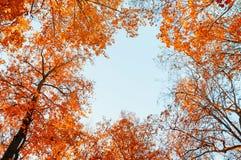 Árvores do outono Copas de árvore alaranjadas do outono contra o céu azul Opinião natural do outono de árvores do outono Fotografia de Stock