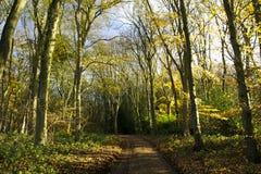 Árvores do outono na madeira de Cawston Fotografia de Stock Royalty Free