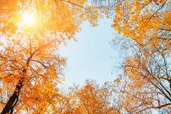 Árvores do outono Partes superiores alaranjadas das árvores do outono contra o céu azul Opinião natural do outono de árvores do o Imagens de Stock Royalty Free