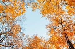 Árvores do outono Partes superiores alaranjadas das árvores do outono contra o céu azul Opinião natural do outono de árvores do o Fotos de Stock