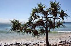 Árvores do Pandanus Imagem de Stock