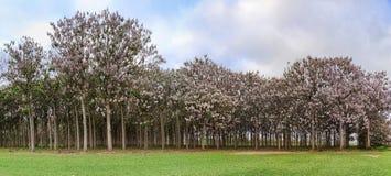 Árvores do Paulownia na flor durante a mola Fotos de Stock Royalty Free