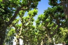 Árvores do Platanus Fotos de Stock Royalty Free