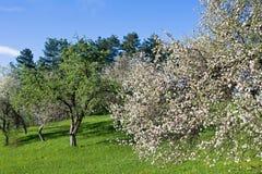 Árvores do pomar Imagem de Stock