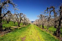 Árvores do pomar e montagem Adamson Imagem de Stock Royalty Free