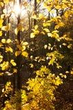 Árvores do por do sol e do álamo tremedor Luz solar através da folha da árvore Folhas brilhantes amarelas na luz solar Fundo boni imagens de stock