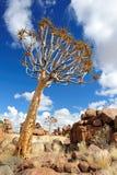 Árvores do Quiver (dichotoma do aloés) Fotografia de Stock Royalty Free