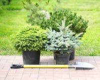Árvores do rebento das coníferas em uns potenciômetros foto de stock royalty free