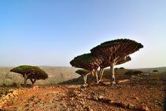 Árvores do sangue de dragão, Socotra, Iémen foto de stock royalty free
