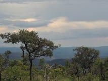 Árvores do savana brasileiro/Cerrado Imagem de Stock Royalty Free