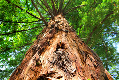 Árvores do Sequoia gigante Imagens de Stock