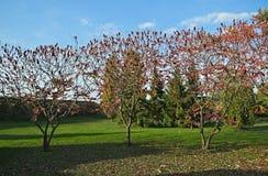 Árvores do sumac de Staghorn com as flores vermelhas grandes no tempo do outono imagens de stock royalty free