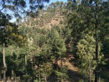 Árvores do verde floresta dos pinhos Fotos de Stock