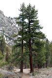 Árvores dobro Foto de Stock Royalty Free