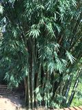 Árvores dos bambus de Sri Lanka imagens de stock royalty free