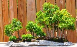 Árvores dos bonsais   Fotografia de Stock
