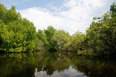 Árvores dos manguezais Foto de Stock Royalty Free