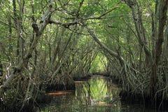Árvores dos manguezais no parque nacional dos marismas foto de stock