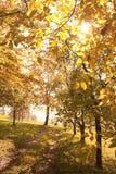 Árvores douradas Fotos de Stock