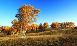 Árvores douradas Imagens de Stock