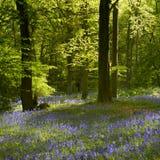 Árvores e Bluebells iluminados parte traseira foto de stock