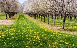 Árvores e dentes-de-leão de florescência de cereja Fotografia de Stock