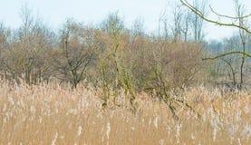 Árvores e junco em um campo no inverno fotos de stock