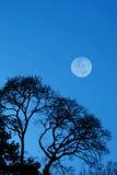 Árvores e lua mostradas em silhueta Fotos de Stock Royalty Free