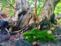 Árvores e musgo Imagens de Stock Royalty Free