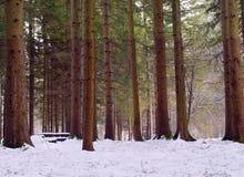 Árvores e neve de pinho Foto de Stock