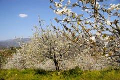 Árvores e nuvem da flor de cerejeira Imagens de Stock Royalty Free