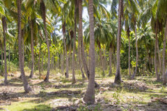 Árvores e palmeiras de coco em Havelock Fotos de Stock