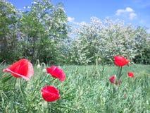 Árvores e papoilas de florescência no prado fotos de stock royalty free