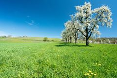 Árvores e pomar de florescência de fruto em um campo verde com dentes-de-leão amarelos e em um vinhedo pequeno no fundo Imagem de Stock Royalty Free