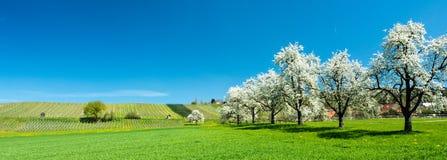 Árvores e pomar de florescência de fruto em um campo verde com dentes-de-leão amarelos e em um vinhedo pequeno no fundo Imagens de Stock Royalty Free