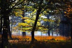 Árvores e prado em um esclarecimento isolado de dourado brilhante de incandescência da floresta alemão no sol do outono da tarde  imagens de stock royalty free