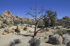Árvores e rochas em Joshua Tree (Califórnia) Foto de Stock Royalty Free