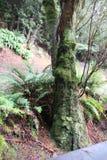 Árvores e samambaias na floresta de Tasmânia fotos de stock