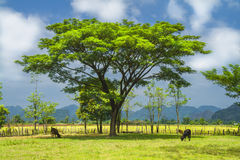 Árvores e vacas. Laos. Foto de Stock