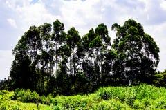 Árvores elevadas Foto de Stock Royalty Free