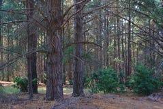 Árvores em mais forrest fotografia de stock