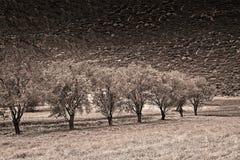 Árvores em seguido no tom do sepia fotografia de stock royalty free